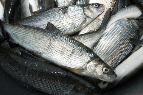 SIK: Etter ti år med tynningsfiske kan det igjen drives næringsfiske på siken i Randsfjorden.