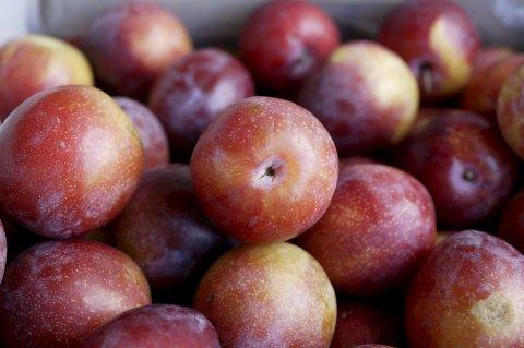 Vondt: Det sies at det skal gjøre litt vondt å beskjære frukttrær, slik at man får det beste produktet. Det kan føles enda vanskeligere å tynne plommekartene Foto: Berit Roald / NTB scanpix