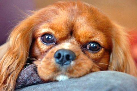 Også hunder kan slite med allergier