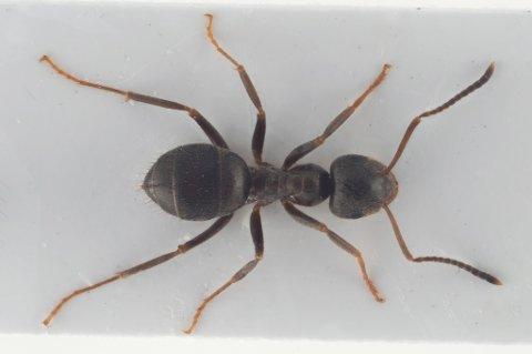 Slik ser en svart jordmaur ut. Den kalles også sukkermaur og er mellom 3,5-5 mm lange.