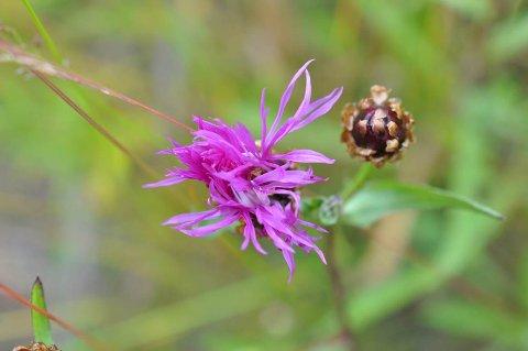 VAKKER: Engknoppurt er en av de vakreste planter med sin sterke blåfiolette litt rufsete blomst. Harekløver og bakkestjerne danner Innimellom de andre, litt gråere fargetoner.