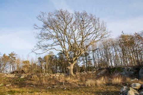 HUL EIK: Treet, som står på tomta hvor boligprosjektet Kystabakken er planlagt, ble utsatt for hærverk i fjor. Tirsdag sa planutvalget ja til felling. Det er godt nytt for utbyggerne.