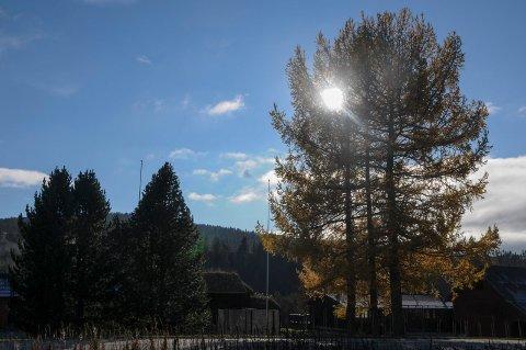 HØSTSTEMING: Bladene har for lengst falt, men sennepsgule nåler på  lerketrærne lyser fortsatt opp i høstmørket. Som her på Tolga.