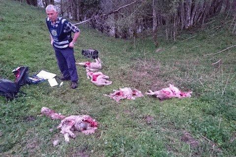 Rovviltkontakt Jan Kåre Lie var sammen med to andre kolleger fra Statens naturoppsyn på stedet der 20 sauer ble angrepet nord i Askim. (Foto: Hans Runar Kojedal, Spydeberg kommune/ANB)