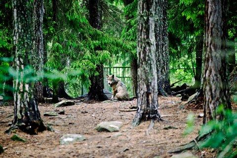 En ulv i ulveinnhegningen i Kolmården dyrepark der en dyrepasser i 2012 ble angrepet av ulver og mistet livet. Torsdag besluttet dyreparken at de ikke lenger vil ha ulver, og ulvene vil bli avlivet som følge av høy alder og dårlig helsetilstand. Arkivfoto: Henrik Witt / NTB scanpix