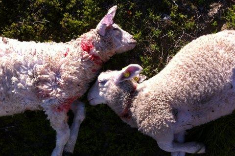 REVET HIJEL: Disse to lammene døde som en følge av at en løs hund gikk berserk i en saueflokk.