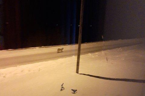 VANDRET GATELANGS: 2. juledag var denne gaupa ute på vandring langs veien i Oksfjordhamn.