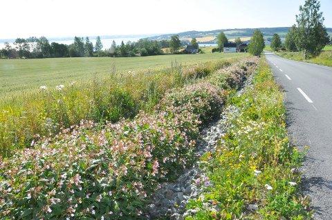 Trøblete:  Kjempesringfrø sprer seg svært fort, og preger grøftene mange steder i Ringsaker. Her fra vegkanten mellom Kvam til Tingnes.