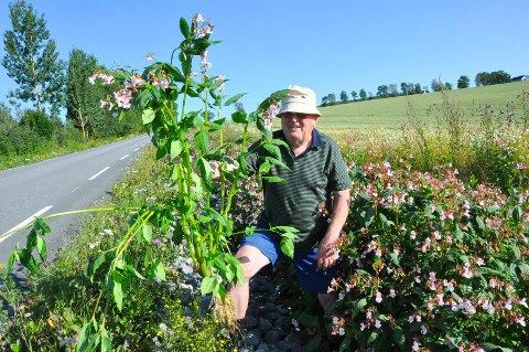 UØNSKET: Karl Brånås oppdaget stor spredning av planten Kjempespringfrø som er svartelistet langs vegkanten på strekningen fra Kvam til Tingnes. - Den ødelegger alt av planteliv, og kan skape store problemer, sier han.