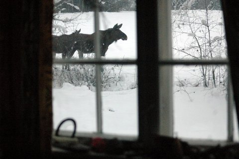 NÅ KJÆM DOM: Elgen pleier å komme rekende ned fra åsen når snø og kulde setter inn. Arkivfoto.