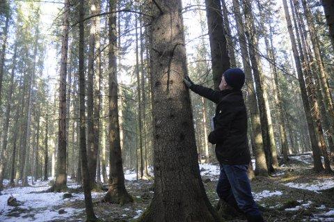 HOGSTMODEN GRAN: Skogforvalter Finn Sønsteby på befaring i skogtappen som skal avvirkes i vår.