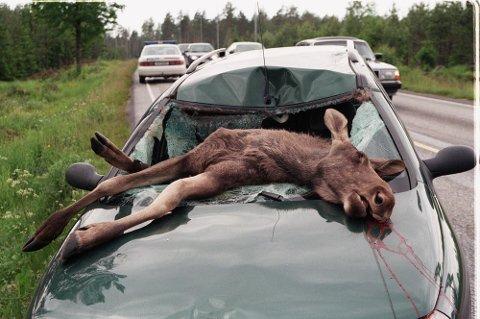 KJØR FORSIKTIG: Bil og elg er en farlig kombinasjon.