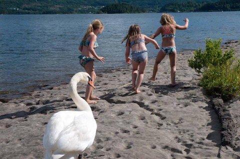 Elise Drange Langengen (8), Ida Karette Gårdvik (7) og Sine Emilie Linnerud Boym (8) rømmer fra en aggressiv svane på Høyenhallstranda.