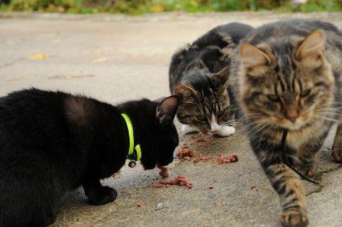 DYR LÆREPENGE: Kanskje en egen katteskatt kunne få ned kattebestanden i Tinn ? Det diskuterte politikeren i Tinn vinteren 1940. Det hele ble et revynummer. (illustrasjonsbilde RA arkiv)