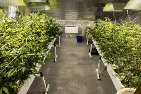VESENTLIG BESLAG: 500 marihuanaplanter ble funnet i bolighuset i Fet da flere lensmannskontor samarbeidet i storaksjonen som foregikk lørdag kveld. Funnet tilsvarer 20 til 30 kilo «salgsferdig» marihuana, og har en verdi på to til fire millioner kroner. ALLE FOTO: VIDAR SANDNES