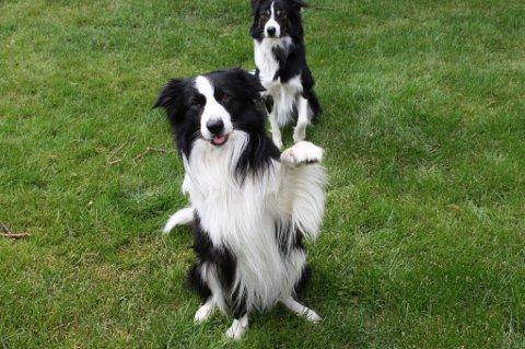 Border collien har blitt stadig mer populær, også for dem som ikke har dem som gjeterhunder.
