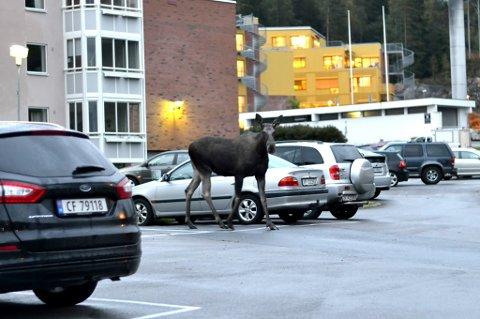 SIGHTSEEING: Her står elgen midt på parkeringsplassen. Flere bilder kan du se i bildeserien lenger ned i saken. Foto: Patricio Lobos