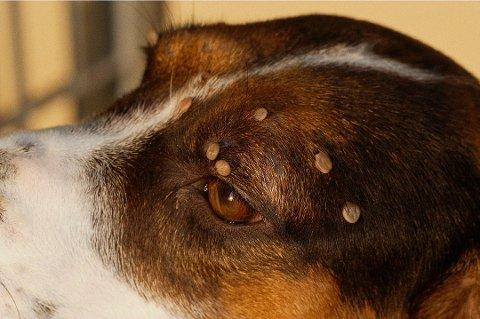 Flåttsesongen er allerede i gang, og både hunde- og katteeiere gjør sitt beste for å unngå at kjæledyret blir bitt. (Foto: Pressebilde/ANB)