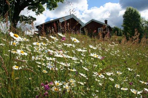 Norske blomsterenger står i fare for å bli borte. Det har skapt engasjement. (Foto: Ellen Svalheim, Nibio/ANB)