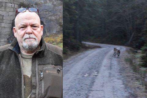Da Geir Olsen og kona Jorunn gikk langs skogsbilveien, sto det lutselig en ulv ti meter foran dem.