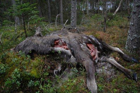 TATT AV DAGE: Et kraftig angrep i strupen, der luftrør og spiserør er «klippet» over av skarpe rovdyrtenner, har endt denne elgkuas dager like ved turstien rundt Damtjern (i bakgrunnen) på Momoen. Foto: Øivind Eriksen