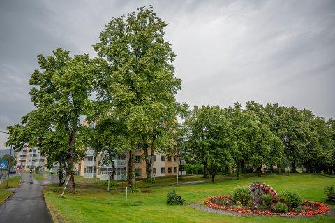HØYE TRÆR: Skolealléen strekker seg fra Sørumsandvegen og ned til Sørumsand videregående skole.