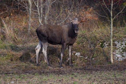LEVER UTRYGT: Statskog og Sætre bruk ønsker å skyte mer elg i sitt vald i Sætre.