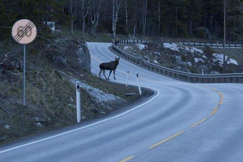 FARE: Det kan være vanskelig å få øye på elg som er i ferd med å krysse veibanen i skumringen.