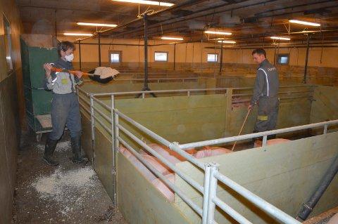 TRAVELT: Tone og Bjørn Erik Gran har lange dager på gården, blant annet i grisehuset.