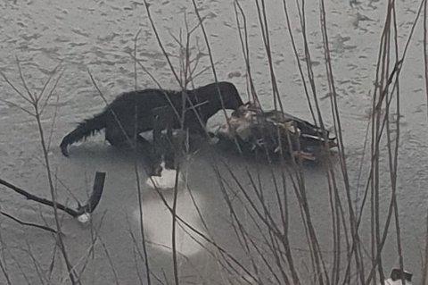 MIDDAG: Her forsyner minken seg av en and den drepte på onsdag. Bugårdsparken har fortsatt et minkeproblem.