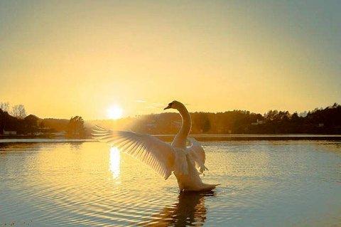 Vårlig: Anne Kristin Hynne Green har fotografert svanen i et flott lys.