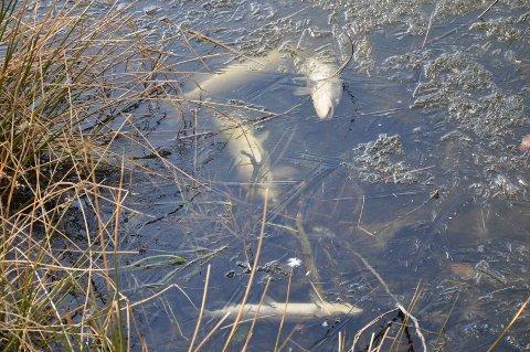 DØD FISK: Det ligger en god del død fisk langs vannkanten i Brydedammen, og flere kommer fram etterhvert som isen smelter.