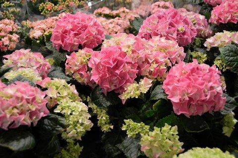 BLOMSTER ENGASJERER: At blomsterbutikker ikke får lov å ha varer på utsiden av butikken har engasjert mange de siste dagene. Men kommuneoverlege OIe Henrik Augestad er klar på at det er ulovlig nå.