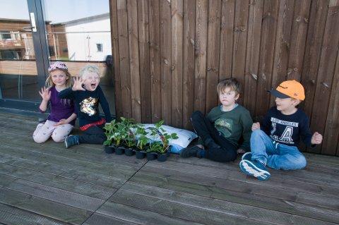 JORDBÆRKLAR: Julie Moen Haukås, Henrik Aamodt Rødeseike, Baste Vågen Vassdal og Andreas Nylund Espeland er glad for å være tilbake i barnehagen. Nå er de klar for å plante koronajordbær.