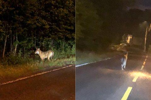 GRÅBEIN: Det som kan være samme ulven som ble observert på Trosvik i går ble i natt sett på Gressvik. Mobilfoto: Ida Christin Foss