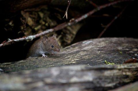 Når det blir mindre tilgang på mat utendørs, kan mus bli desperate på jakt etter mat og søker inn i hus og hytter for å finne noe spiselig.