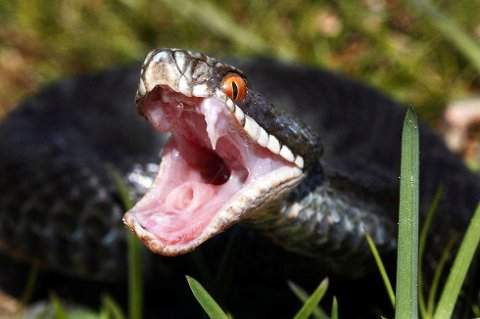 *** Local Caption *** Huggorm er én av tre ormer i norsk fauna og den eneste giftige slangen.