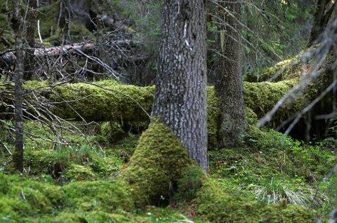 Namsos, Norwegen 20040507: Der Boreale Regenwald in Selnes bei Namsos in Norwegen.  Mosegrodde trær. Utsnitt av den boreale regnskogen i Selnes ved Namsos i Nord-Trøndelag.  Foto: Heiko Junge / SCANPIX .