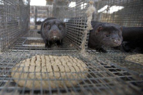 Mye tyder på at det går mot en bærekraftig utvikling av den norske pelsdyrnæringen.