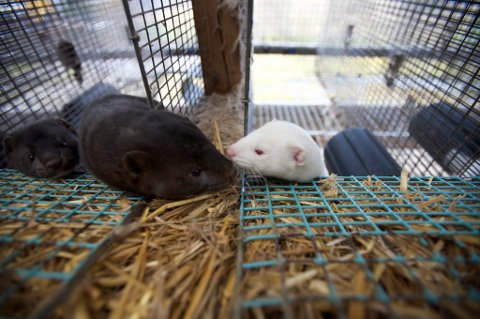 Det blir skjerpede krav til dyrevelferd i pelsdyrnæringen.