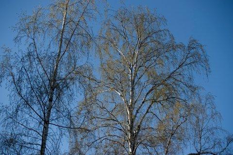 HUK, Bygdøy  20140419. Bjørketrær i full blomst på Huk. Fare for stor spredning av bjørkepollen de nærmeste dagene.  Foto: Aleksander Andersen / NTB scanpix