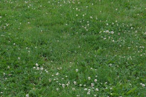 Er hvitkløver ugress? Det har pleneiere ulike meninger om.