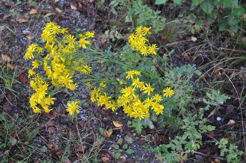 Blomsten er gul med store kronblader, mørk stilk og flikete blader.