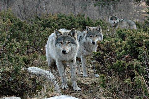 Erstatning: Det er ulven som er mistenkt for å ta flest sau i Østfold.