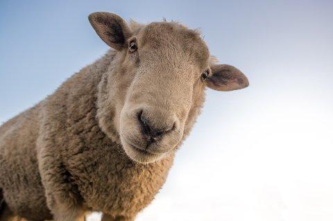 MÅ TELJA ALLE: SSB meiner det er 10.762 sauer i Hjelmeland. Det er fake news. For hjelmelandsbuane må også reknast med i det talet, peikar journalist og årdalsbu Magnar Riveland på i denne teksten frå 2017.