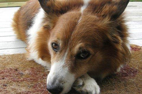 I gjennomsnitt koster det ca 13.000 kr i året å ha en hund. Foto: Solveig Vikene, NTB scanpix/ANB