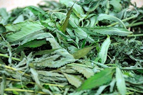 – MOT RYGGSMERTER: I retten forklarte 43-åringen at han tidligere brukte marihuana mot ryggsmerter, men at han nå ikke lenger bruker narkotika.
