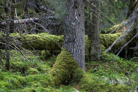 SKOG: Ny kartlegging av skog og naturtyper gir mer kunnskap.