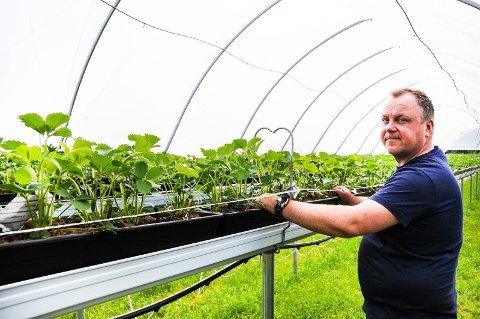 TUNNEL: Med jordbærdyrking i tunnel går jordbærbonde i Bø, Tore Øygarden, tryggare sesongar i vente.