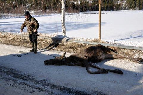 DREPT: Det ble i fjor registrert  åtte drepte elg i trafikken i Notodden.